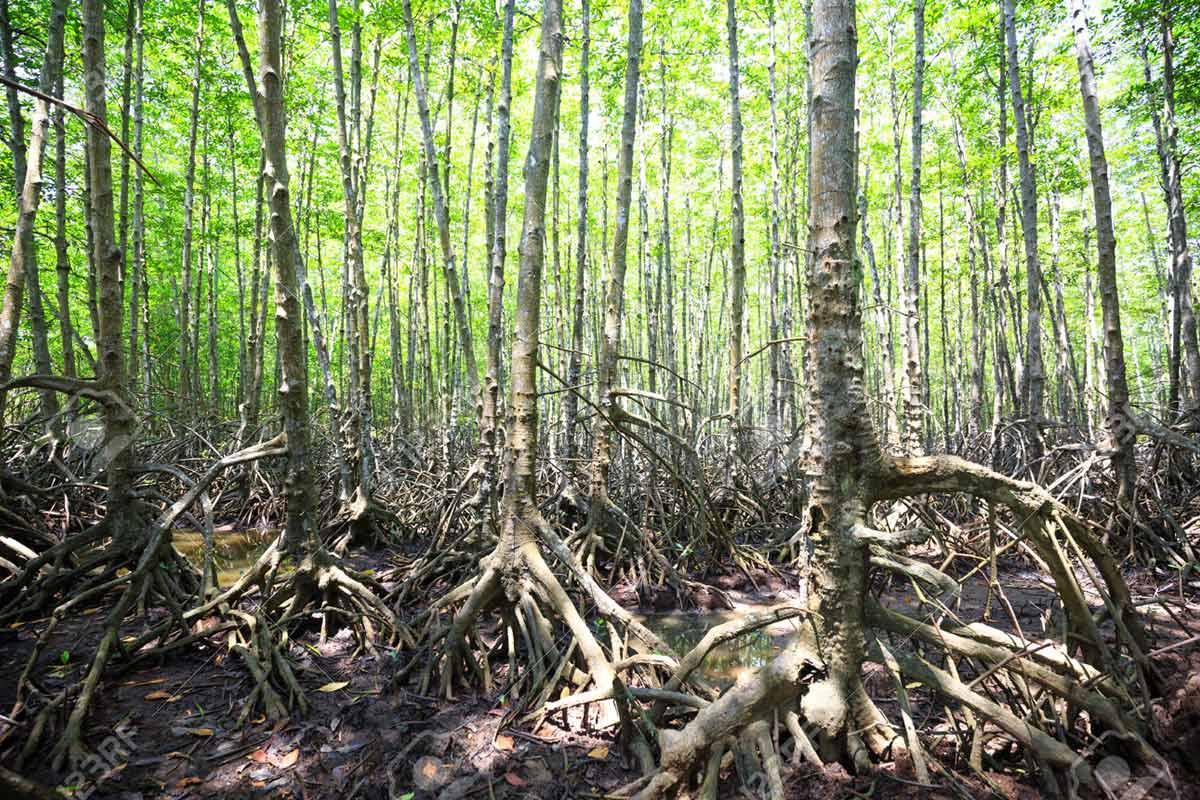 Can Gio Mangrove