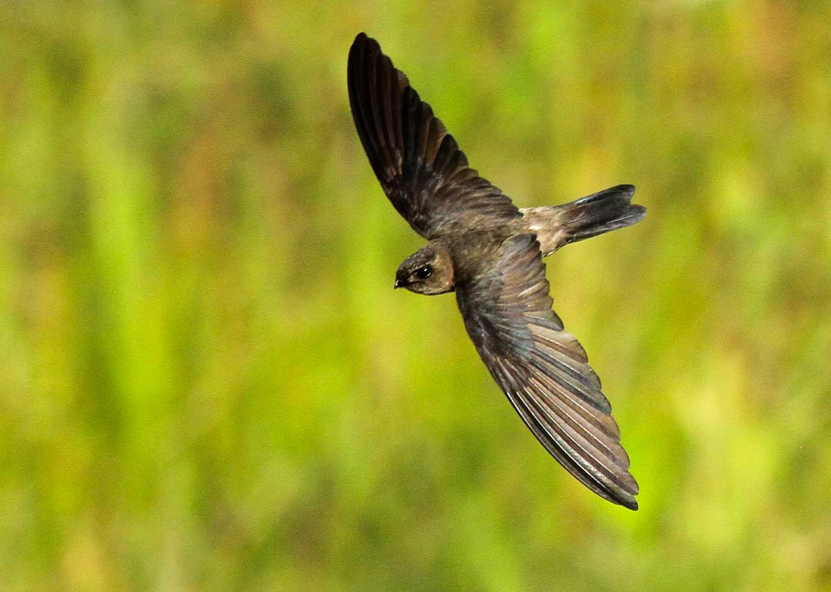 Swiftlet Bird